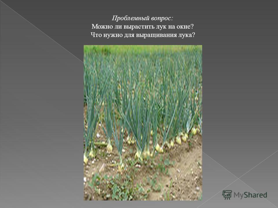 Проблемный вопрос: Можно ли вырастить лук на окне? Что нужно для выращивания лука?