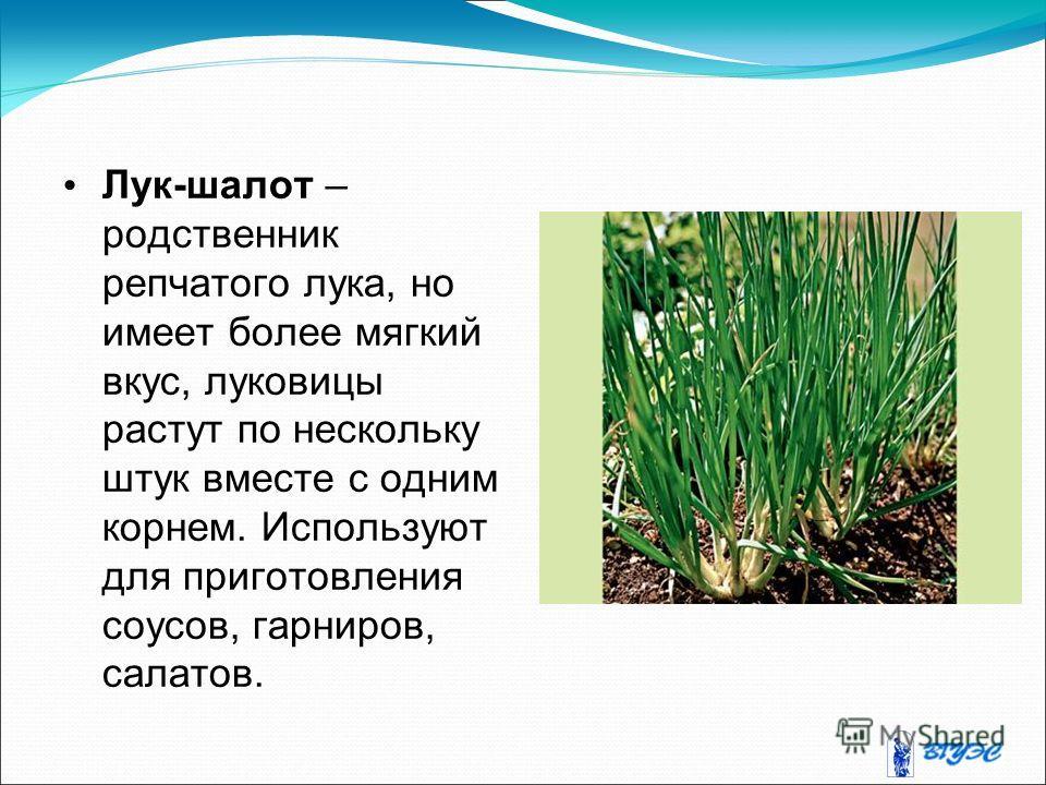 Лук-шалот – родственник репчатого лука, но имеет более мягкий вкус, луковицы растут по нескольку штук вместе с одним корнем. Используют для приготовления соусов, гарниров, салатов.