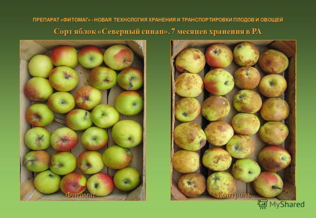 Сорт яблок «Северный синап». 7 месяцев хранения в РА ПРЕПАРАТ «ФИТОМАГ» - НОВАЯ ТЕХНОЛОГИЯ ХРАНЕНИЯ И ТРАНСПОРТИРОВКИ ПЛОДОВ И ОВОЩЕЙ Фитомаг Контроль