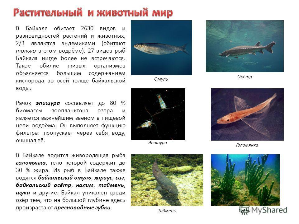 В Байкале обитает 2630 видов и разновидностей растений и животных, 2/3 являются эндемиками (обитают только в этом водоёме). 27 видов рыб Байкала нигде более не встречаются. Такое обилие живых организмов объясняется большим содержанием кислорода во вс