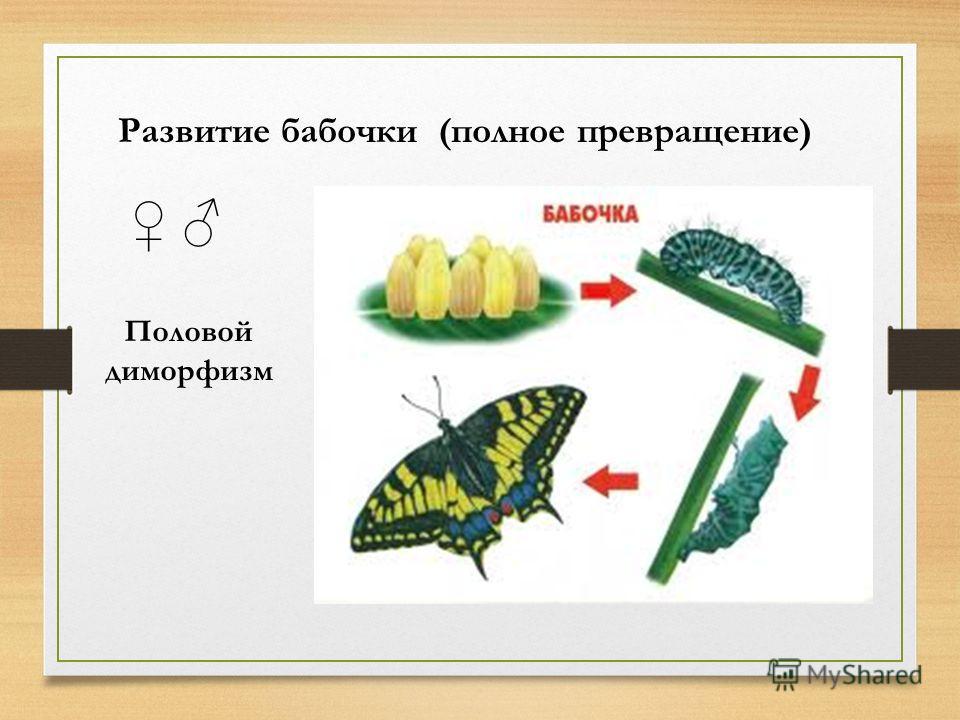Развитие бабочки (полное превращение) Половой диморфизм