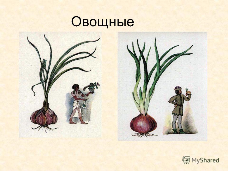 Значение Лилейных 4000 видов декоративные дикорастущие овощные