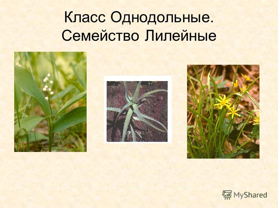 Проводящие пучки- без камбия Тип строения цветка- трехчленный Околоцветник – простой
