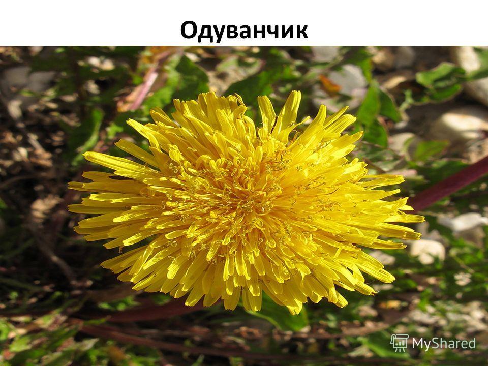 Одуванчик Плантариум определитель растений on-line