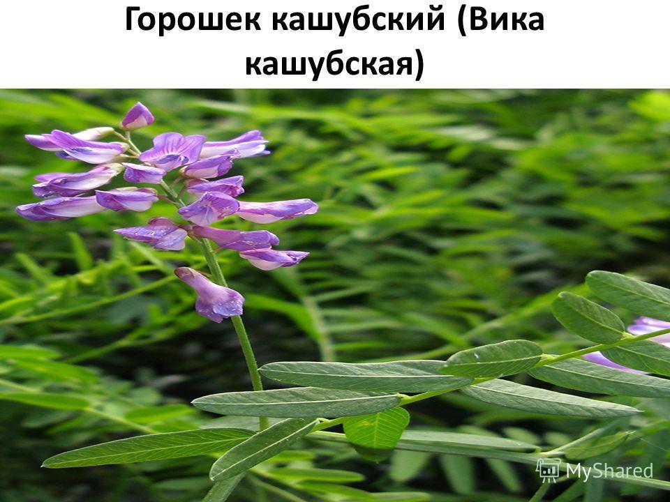 Горошек кашубский (Вика кашубская) Плантариум определитель растений on-line