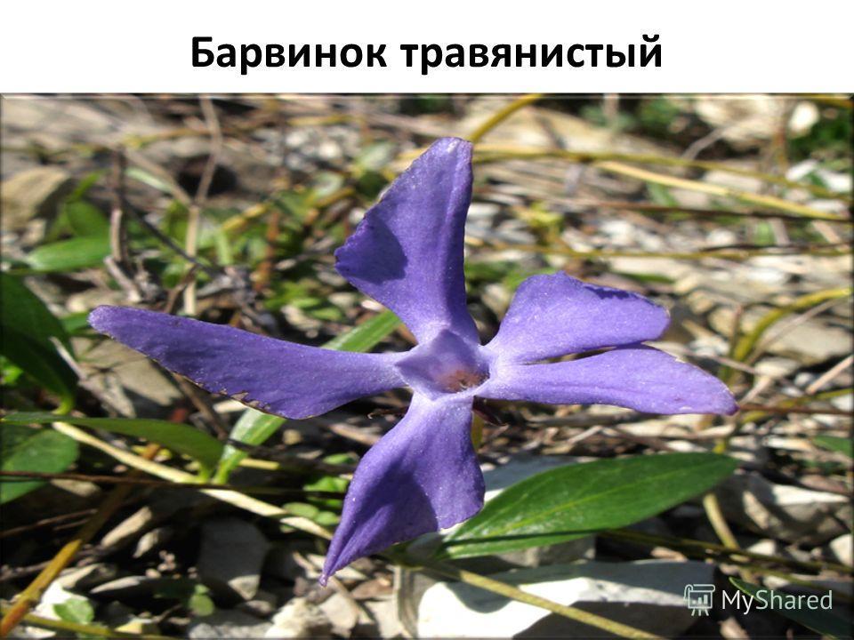 Барвинок травянистый Плантариум определитель растений on-line