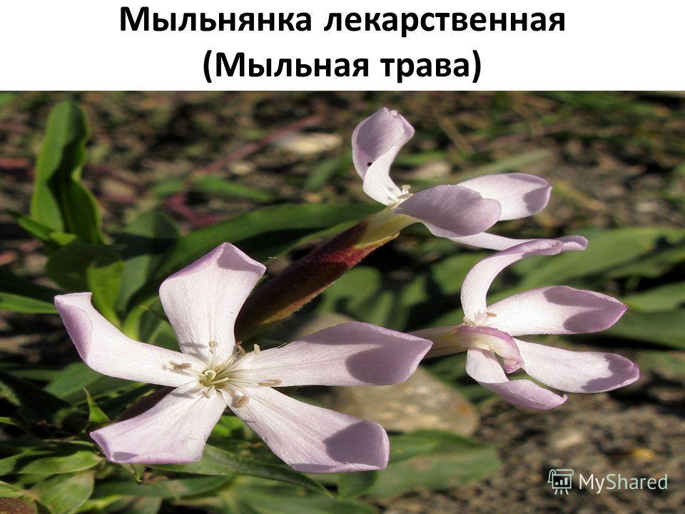 Мыльнянка лекарственная (Мыльная трава) Плантариум определитель растений on-line