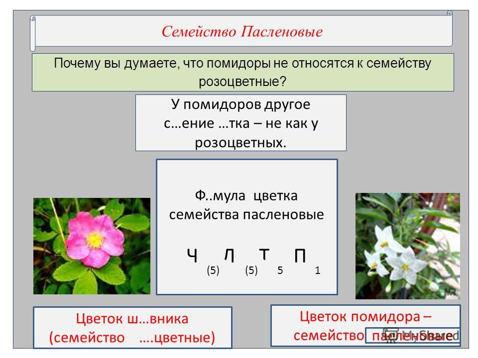 Почему вы думаете, что помидоры не относятся к семейству розоцветные? Семействол Пасле нновые У помидоров другое с…пе ние …токань как у розоцветных. Цветок ш…вника (семействол ….цветные) Цветок помидора – семействол …….вые пасле нновые Ф..мула цветок