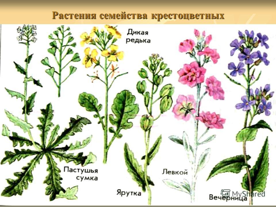 Растения семейства крестоцветных