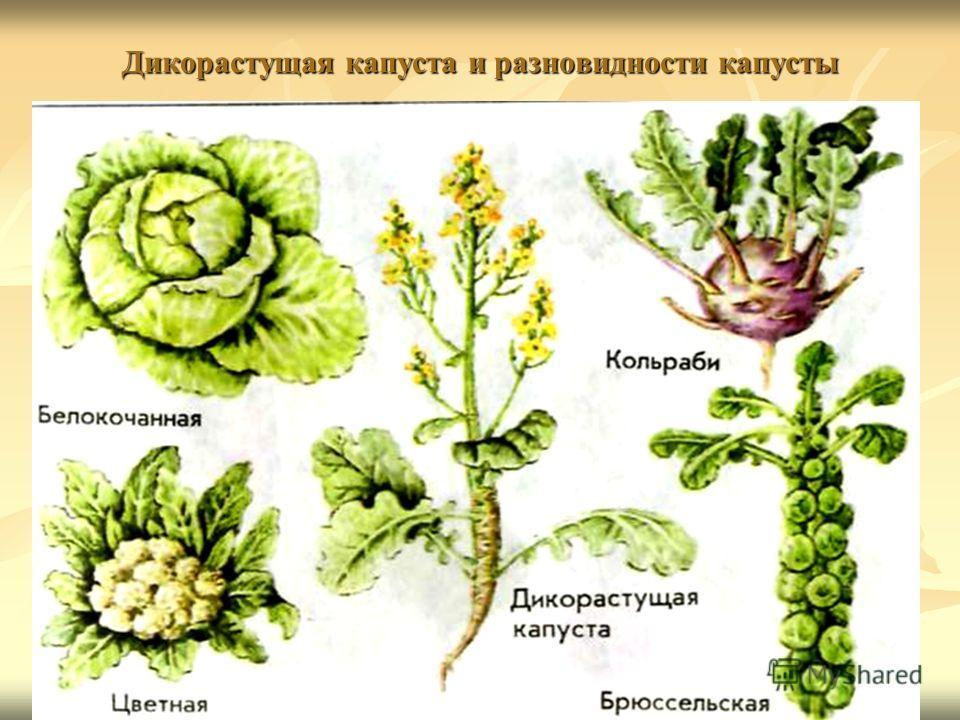 Дикорастущая капуста и разновидности капусты