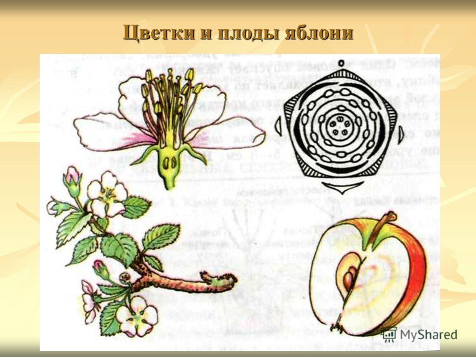 Цветки и плоды яблони