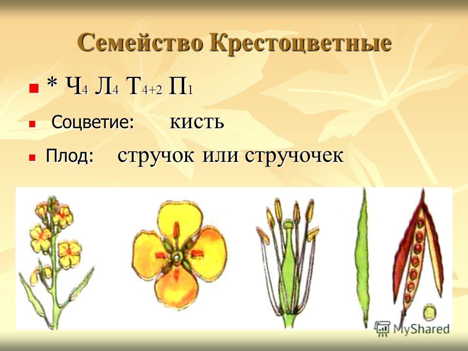 Семейство Крестоцветные * Ч 4 Л 4 Т 4+2 П 1 * Ч 4 Л 4 Т 4+2 П 1 Соцветие: кисть Соцветие: кисть Плод: стручок или стручочек Плод: стручок или стручочек