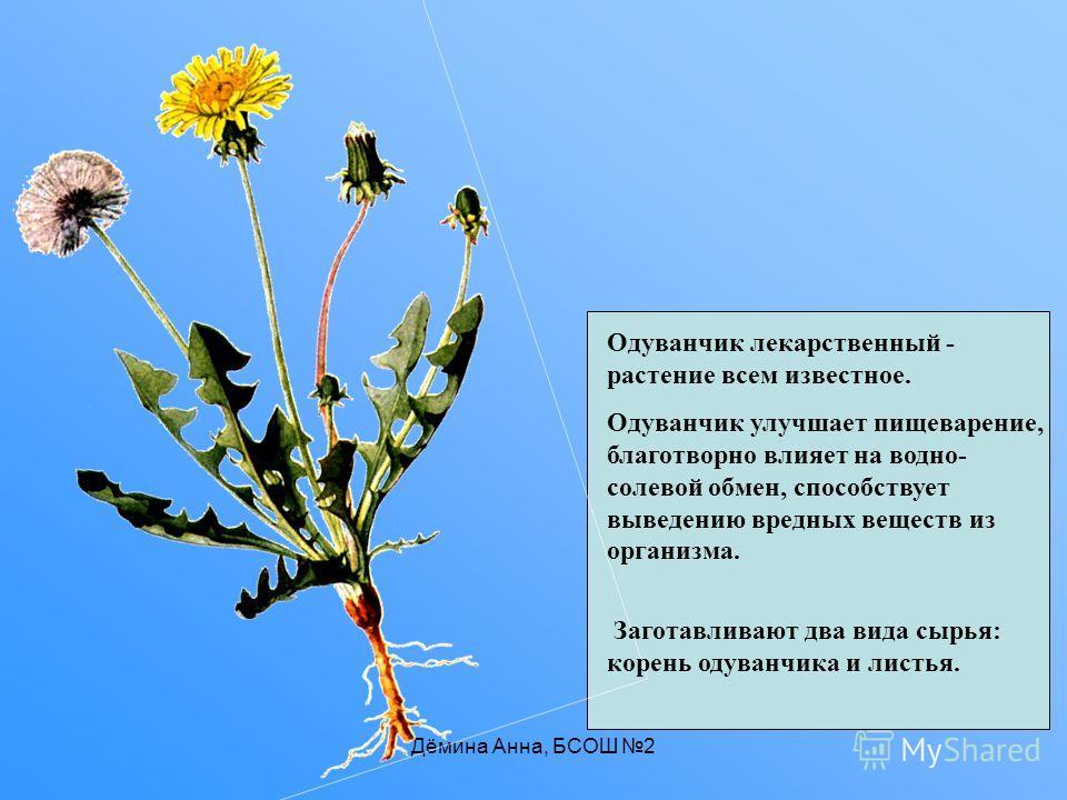Дёмина Анна, БСОШ 2 Одуванчик лекарственный - растение всем известное. Одуванчик улучшает пищеварение, благотворно влияет на водно- солевой обмен, способствует выведению вредных веществ из организма. Заготавливают два вида сырья: корень одуванчика и