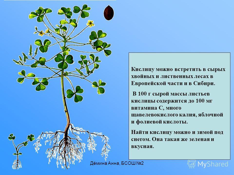 Дёмина Анна, БСОШ 2 Кислицу можно встретить в сырых хвойных и лиственных лесах в Европейской части и в Сибири. В 100 г сырой массы листьев кислицы содержится до 100 мг витамина С, много щавелевокислого калия, яблочной и фолиевой кислоты. Найти кислиц