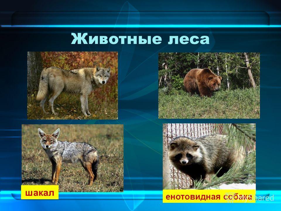 Животные леса шакал енотовидная собака