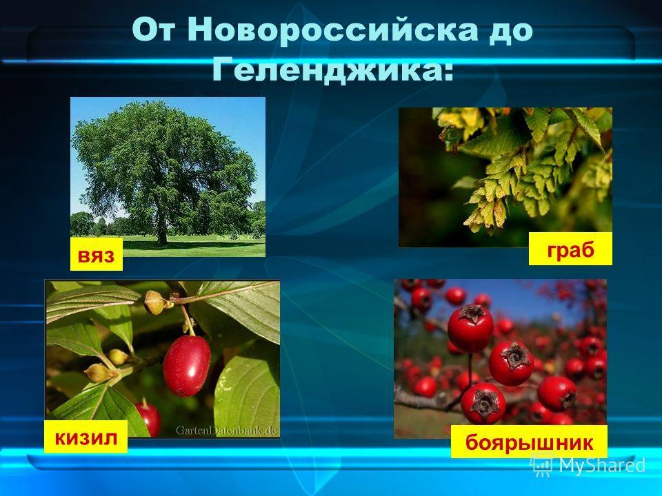 От Новороссийска до Геленджика: вяз граб кизил боярышник