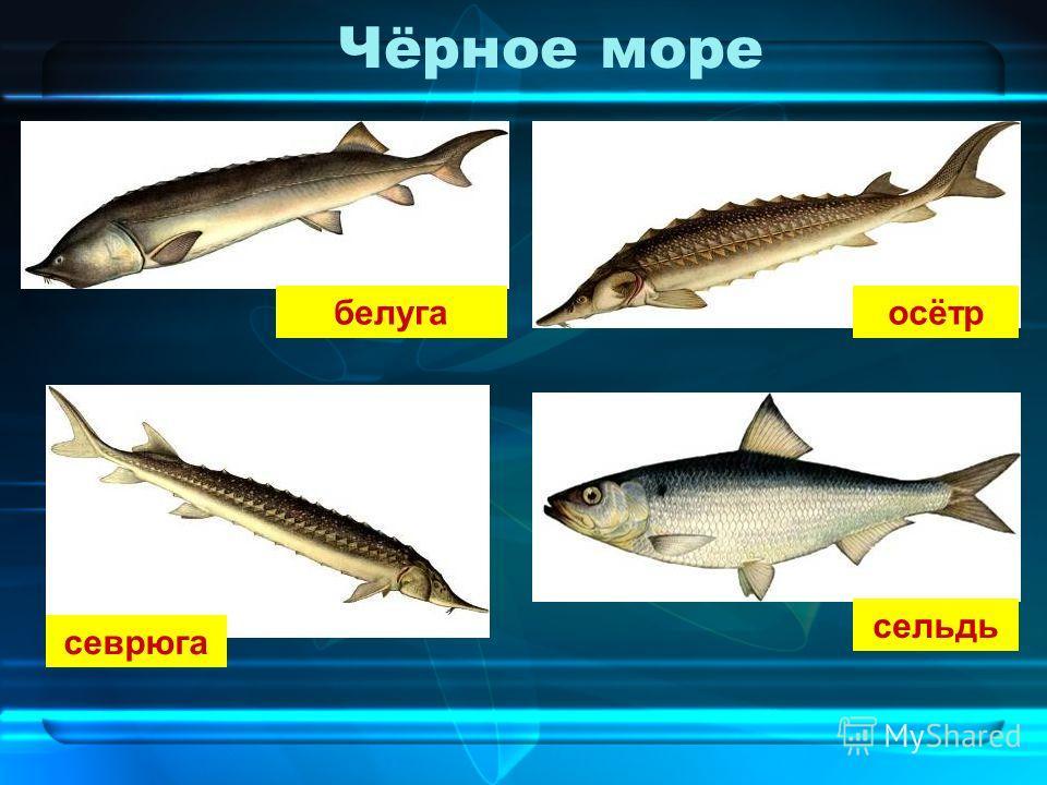 Чёрное море белуга осётр севрюга сельдь