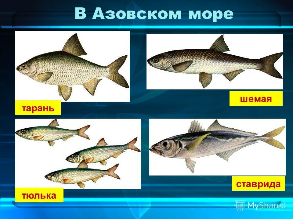 В Азовском море тарань шемая тюлька ставрида