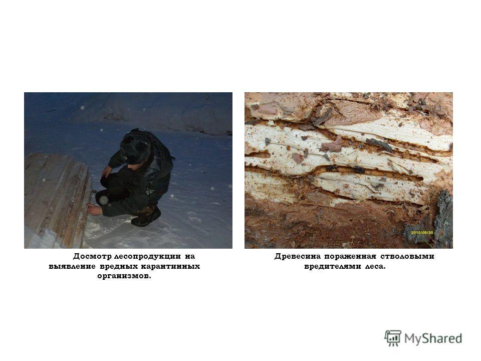 Досмотр лесопродукции на выявление вредных карантинных организмов. Древесина пораженная стволовыми вредителями леса.