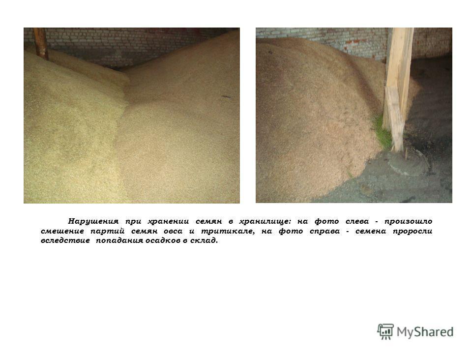 Нарушения при хранении семян в хранилище: на фото слева - произошло смешение партий семян овса и тритикале, на фото справа - семена проросли вследствие попадания осадков в склад.