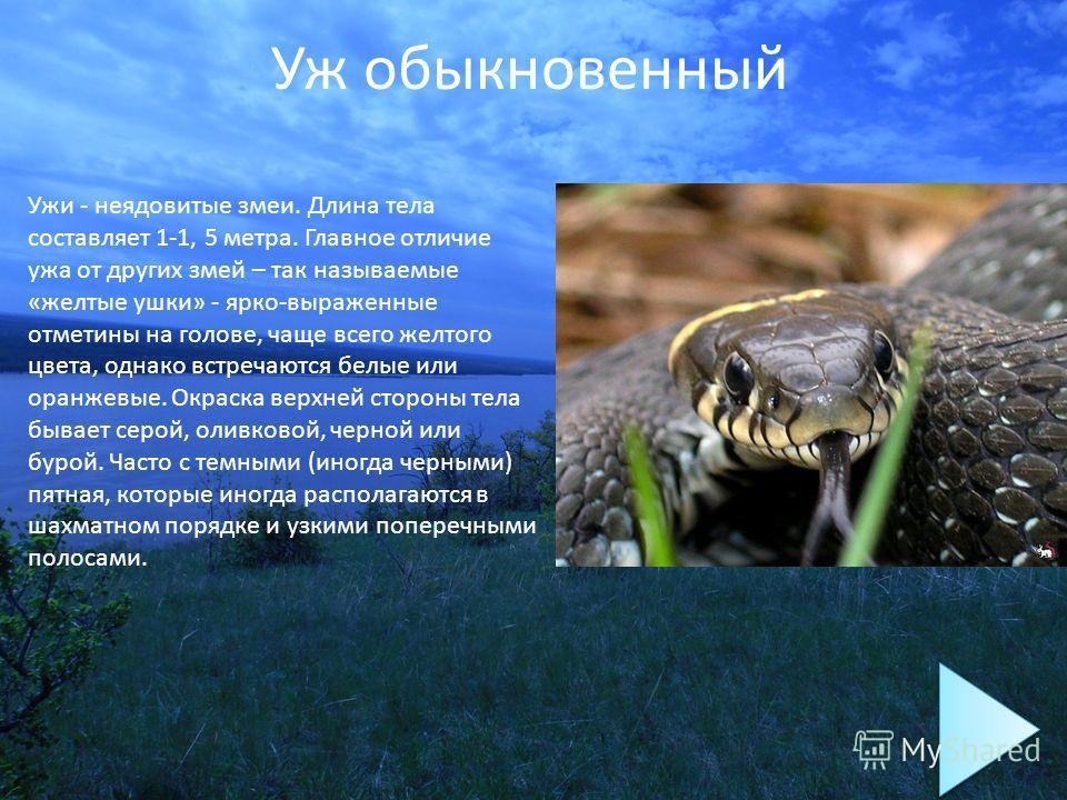 Уж обыкновенный Ужи - неядовитые змеи. Длина тела составляет 1-1, 5 метра. Главное отличие ужа от других змей – так называемые «желтые ушки» - ярко-выраженные отметины на голове, чаще всего желтого цвета, однако встречаются белые или оранжевые. Окрас
