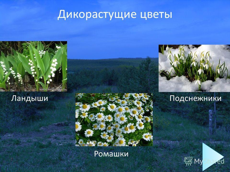 Дикорастущие цветы Ландыши Подснежники Ромашки