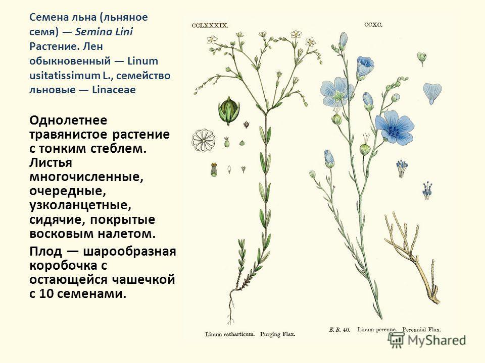 Семена льна (льняное семя) Semina Lini Растение. Лен обыкновенный Linum usitatissimum L., семейство льновые Linaceae Однолетнее травянистое растение с тонким стеблем. Листья многочисленные, очередные, узколанцетные, сидячие, покрытые восковым налетом