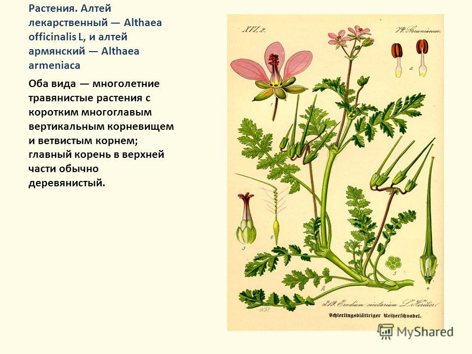 Растения. Алтей лекарственный Althaea officinalis L, и алтей армянский Althaea armeniaca Оба вида многолетние травянистые растения с коротким многоглавым вертикальным корневищем и ветвистым корнем; главный корень в верхней части обычно деревянистый.