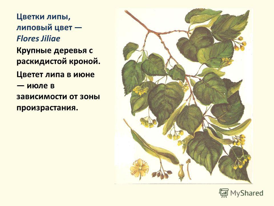 Цветки липы, липовый цвет Flores Jiliae Крупные деревья с раскидистой кроной. Цветет липа в июне июле в зависимости от зоны произрастания.