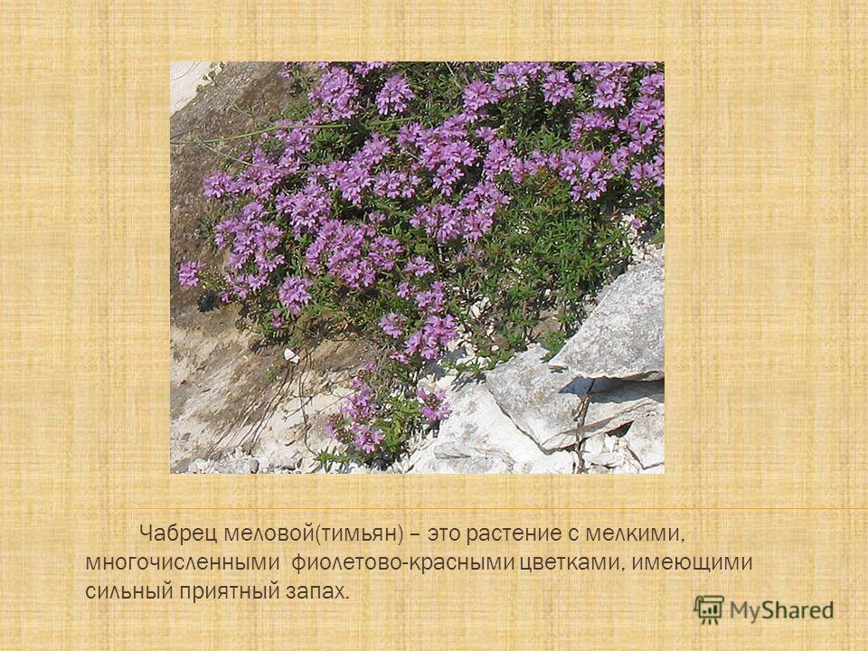Чабрец меловой(тимьян) – это растение с мелкими, многочисленными фиолетово-красными цветками, имеющими сильный приятный запах.