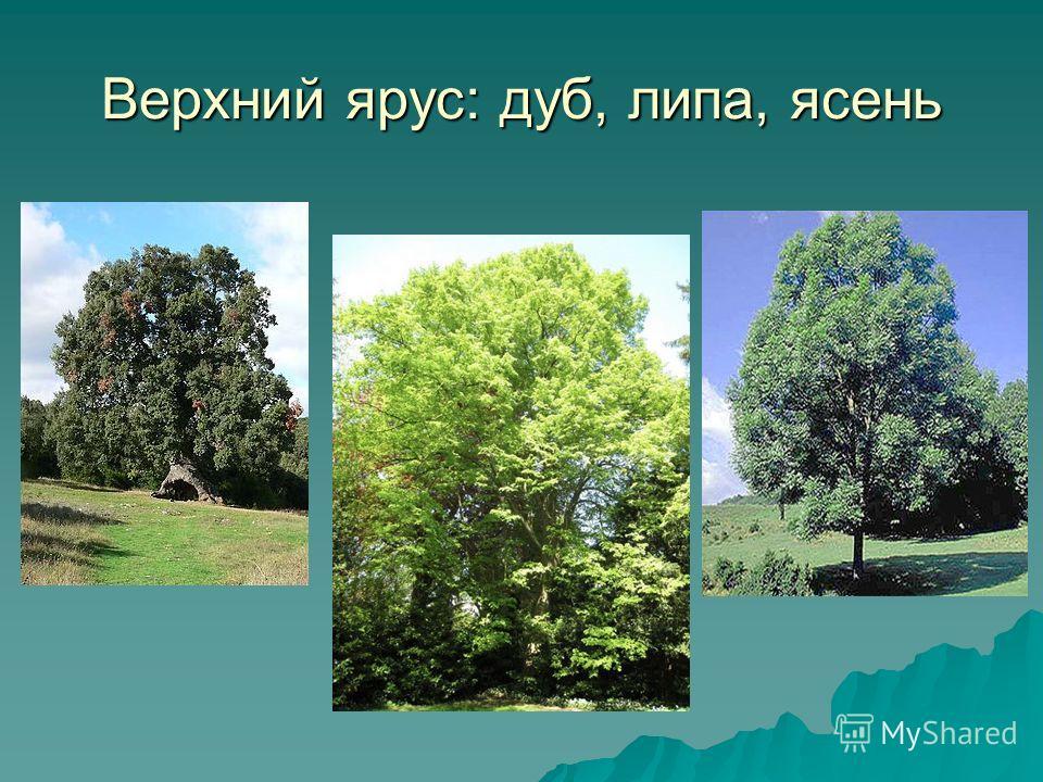 Верхний ярус: дуб, липа, ясень