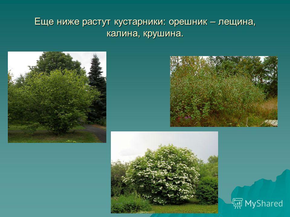 Еще ниже растут кустарники: орешник – лещина, калина, крушина.