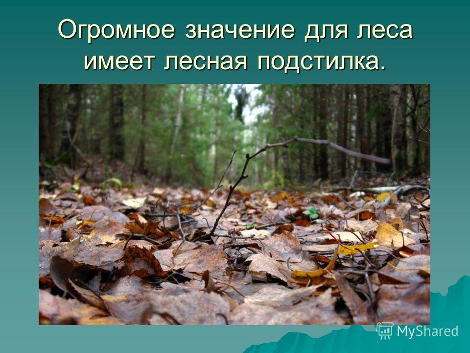 Огромное значение для леса имеет лесная подстилка.