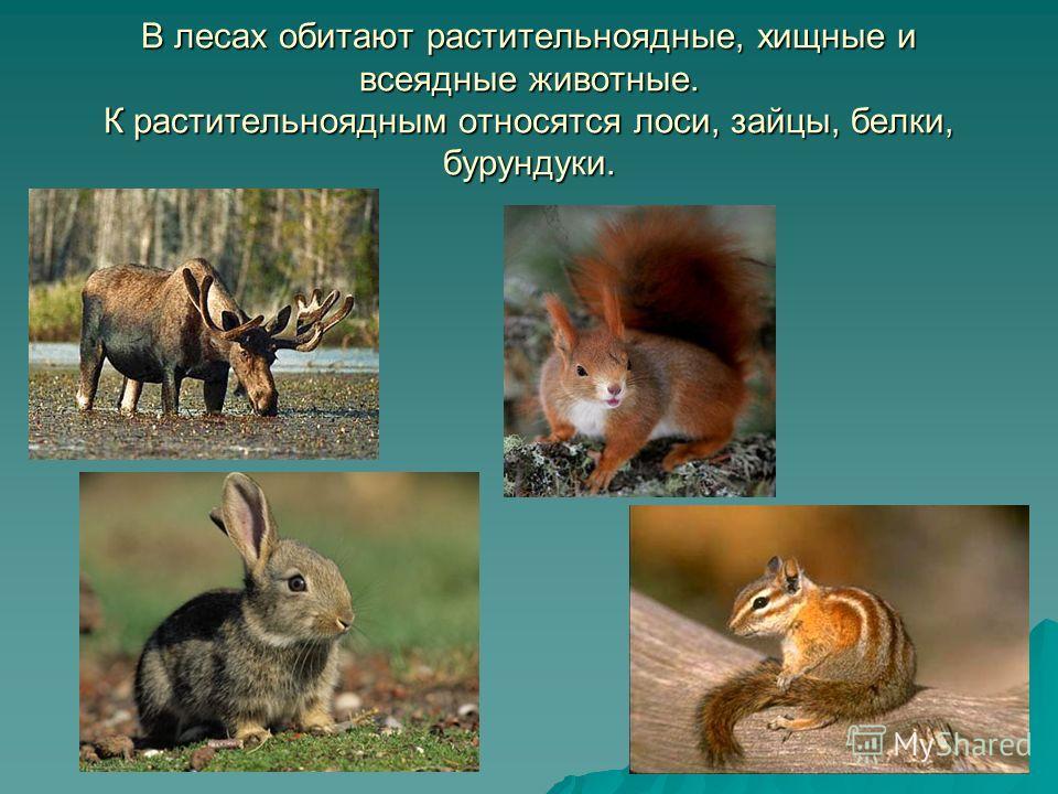 В лесах обитают растительноядные, хищные и всеядные животные. К растительноядным относятся лоси, зайцы, белки, бурундуки.