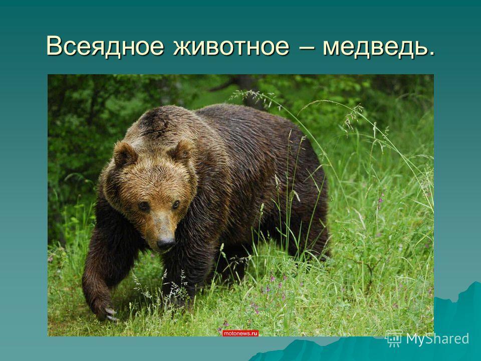 Всеядное животное – медведь.