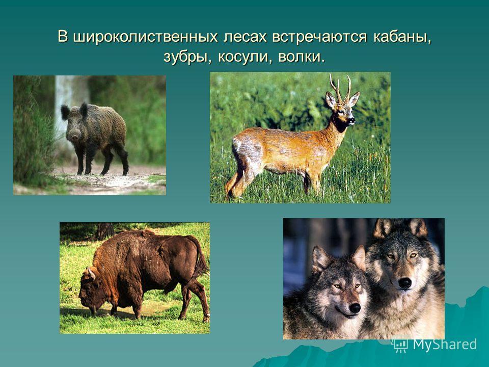 В широколиственных лесах встречаются кабаны, зубры, косули, волки.