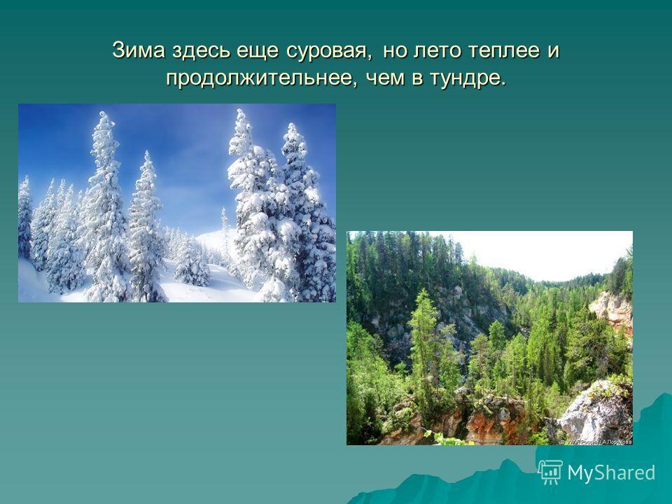 Зима здесь еще суровая, но лето теплее и продолжительнее, чем в тундре.