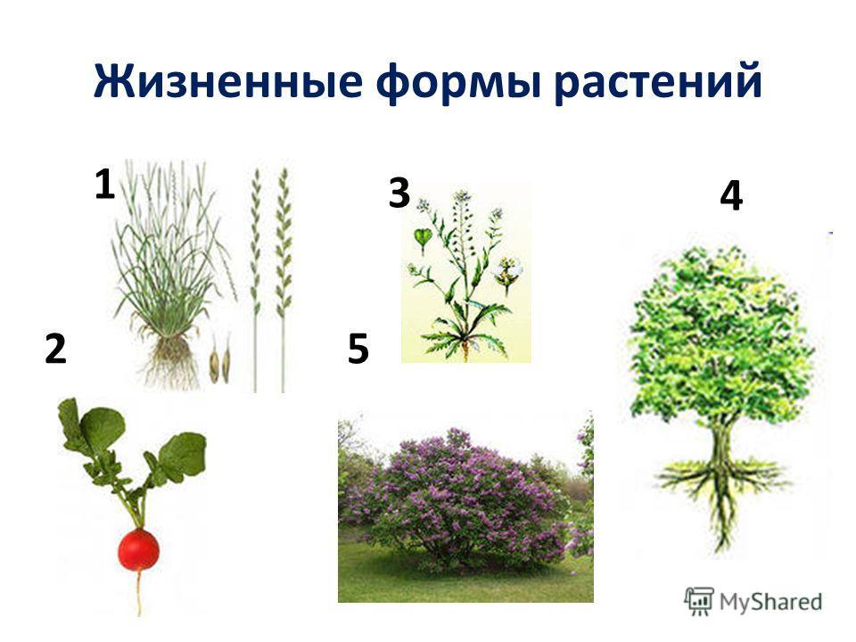 Жизненные формы растений 1 2 3 4 5