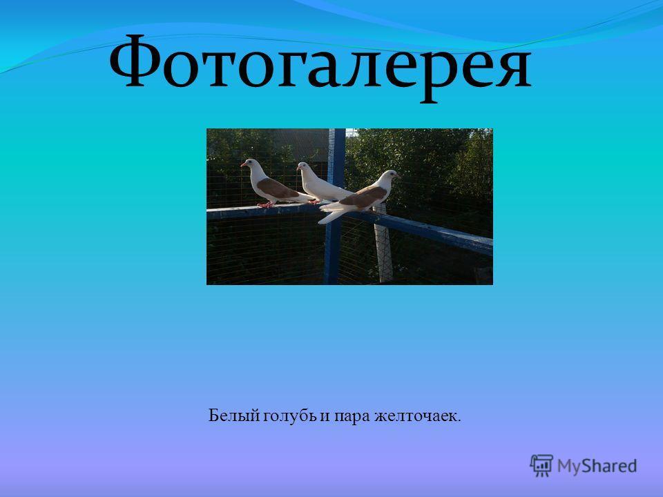 Фотогалерея Белый голубь и пара желточаек.