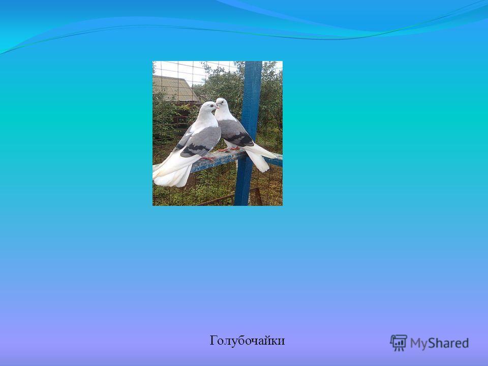 Голубочайки
