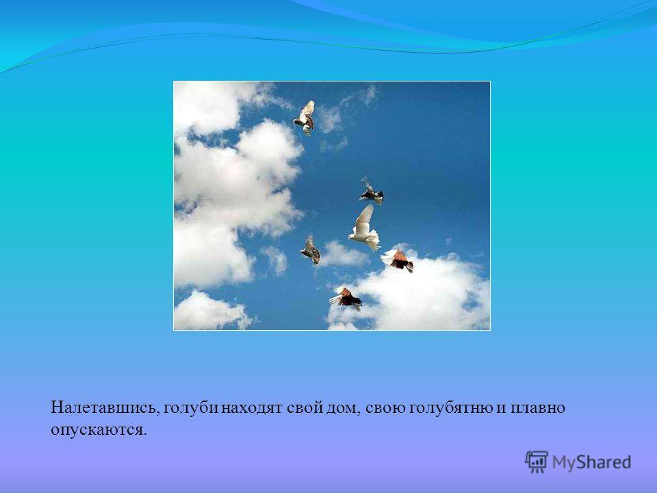 Налетавшись, голуби находят свой дом, свою голубятню и плавно опускаются.