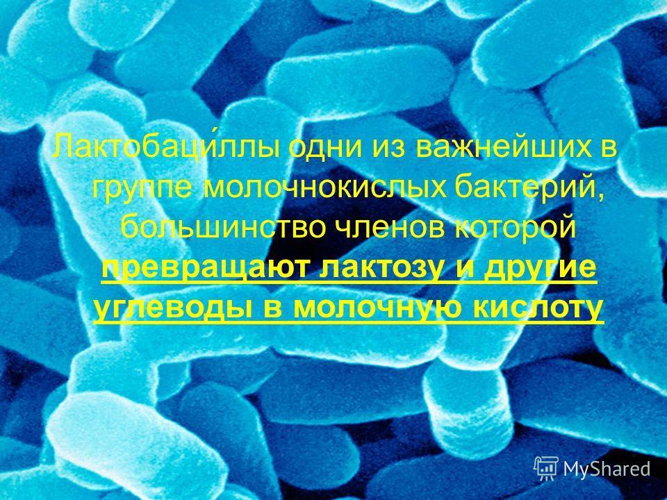 Лактобаци́ллы одни из важнейших в группе молочнокислых бактерий, большинство членов которой превращают лактозу и другие углеводы в молочную кислоту