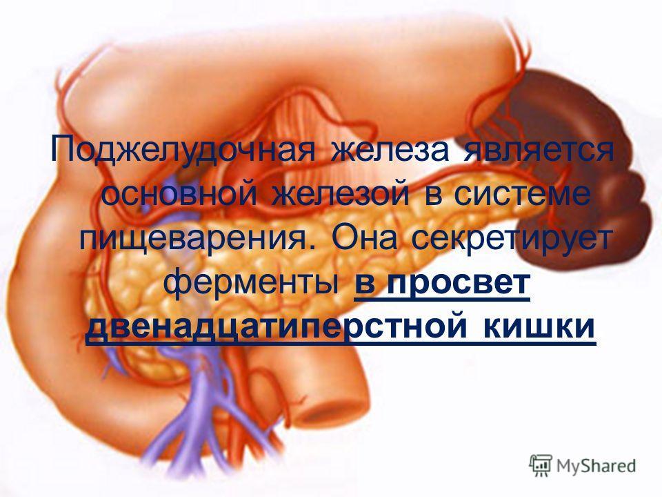 Поджелудочная железа является основной железой в системе пищеварения. Она секретирует ферменты в просвет двенадцатиперстной кишки.