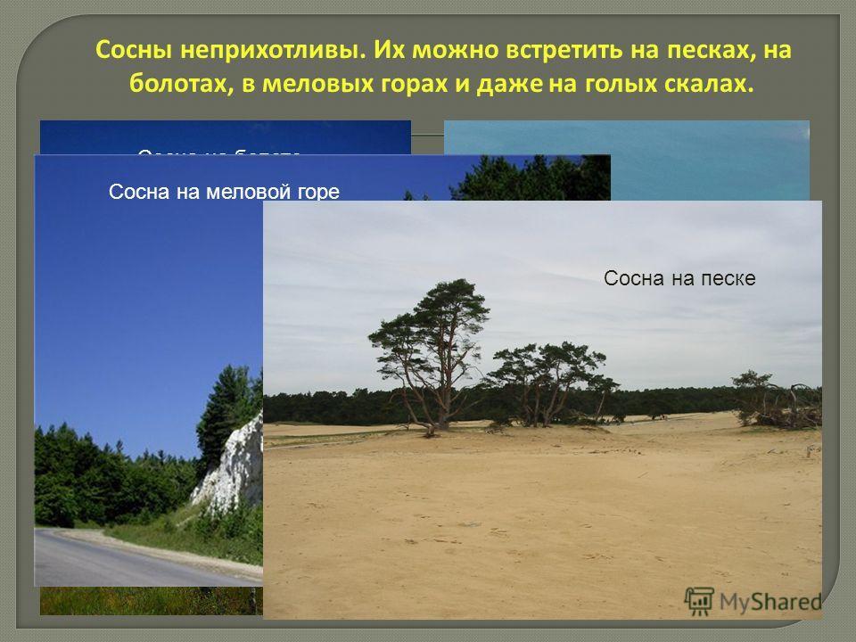 Сосны неприхотливы. Их можно встретить на песках, на болотах, в меловых горах и даже на голых скалах. Сосна на болоте Сосна на меловой горе Сосна на песке