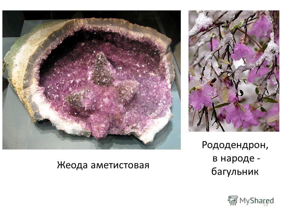 15 Жеода аметистовая Рододендрон, в народе - багульник