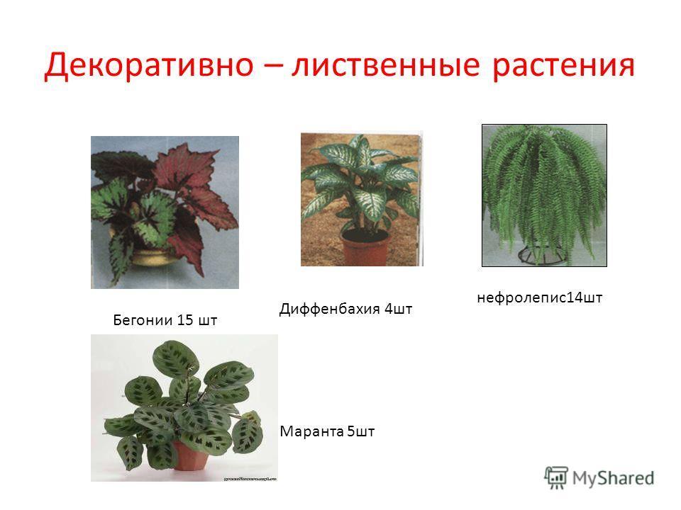 Декоративно – лиственные растения Бегонии 15 шт Диффенбахия 4 шт Маранта 5 шт нефролепис 14 шт
