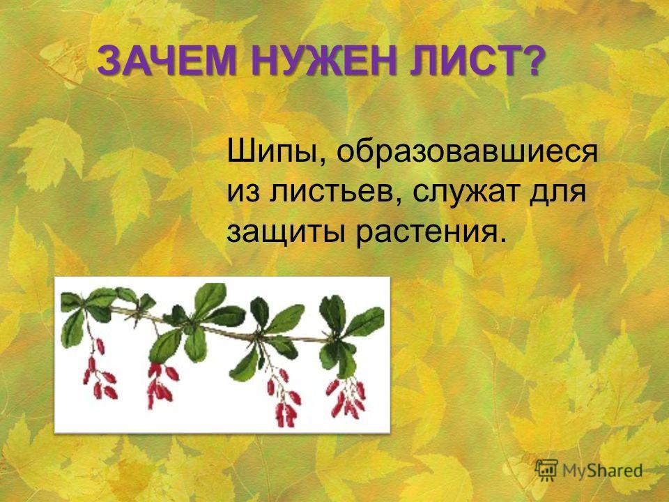 Шипы, образовавшиеся из листьев, служат для защиты растения. ЗАЧЕМ НУЖЕН ЛИСТ?