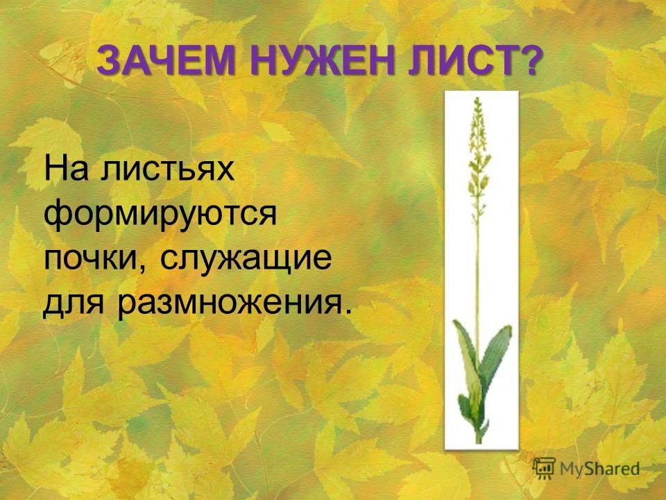 На листьях формируются почки, служащие для размножения. ЗАЧЕМ НУЖЕН ЛИСТ?