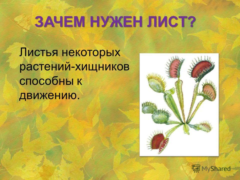 Листья некоторых растений-хищников способны к движению. ЗАЧЕМ НУЖЕН ЛИСТ?