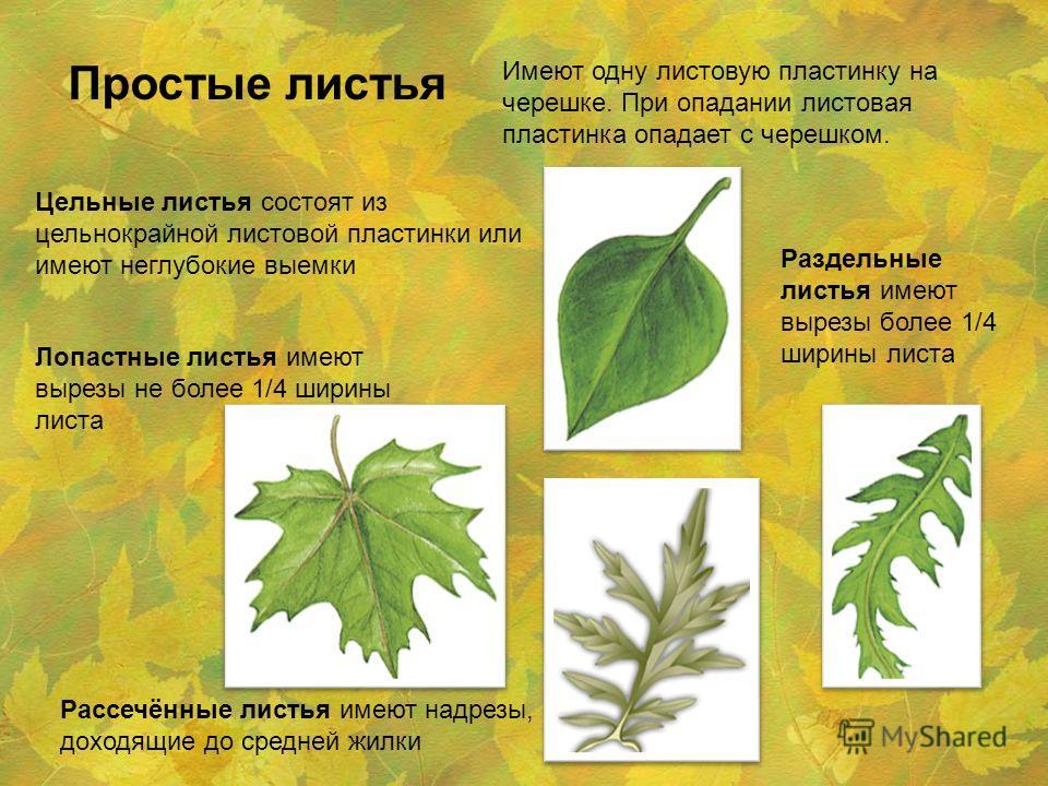 Простые листья Имеют одну листовую пластинку на черешке. При опадании листовая пластинка опадает с черешком. Цельные листья состоят из цельнокрайной листовой пластинки или имеют неглубокие выемки Лопастные листья имеют вырезы не более 1/4 ширины лист